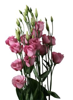 piccolo green lisianthus eustoma pinterest piccolo beautiful flowers and flowers. Black Bedroom Furniture Sets. Home Design Ideas
