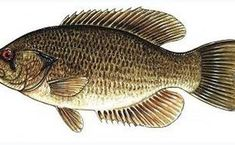 Rock Bass or (Ambloplites rupestris) - Species ID and Fishing Tips Wood Burning Patterns, Fishing Tips, Bass, Rock, Pictures, Animals, Ohio, Mosaic, Fresh