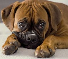 Look at that sweet face! Boxer Dogs Facts, Boxer Puppies, Boxer And Baby, Boxer Love, Dog Hoodie, Dog Coats, Dog Harness, Mans Best Friend, Dog Pictures