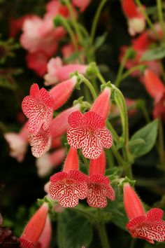 Kohleria 'Sunshine' (2) | Flickr - Photo Sharing!