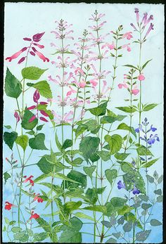 Salvias and Agastaches - work for upcoming shows 2015