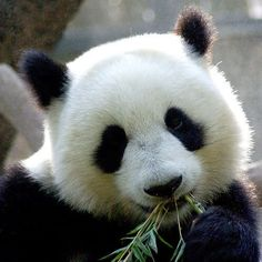 panda bears   panda eatting bamboo leaves Image