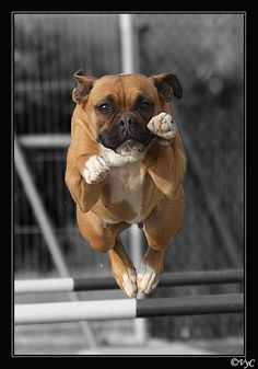 Super Boxer! The breed that can fly! This is why our girl had 3 homes in a year. She could clear a 6 foot fence. Boxers are very athletic.