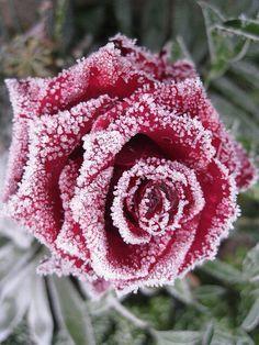 Frozen Rose Tattoo Winter rose tattoo autumn & winter tattoo ideas ...