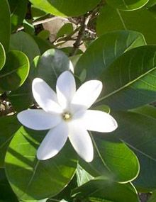 208 best flowers of hawaii images on pinterest beautiful flowers tahitian tiare the best scented flower ever mightylinksfo