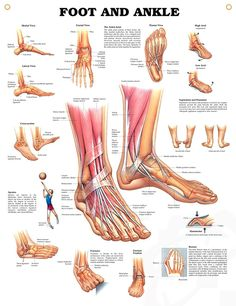 Foot and Ankle anatomy poster shows medial, frontal, lateral and plantar views as well as a cross section.