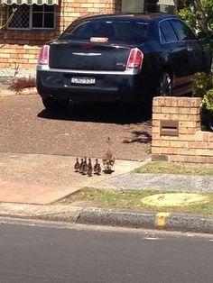 Duck spotting in Woy Woy