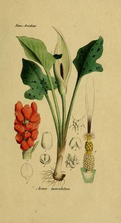 De Noord-Nederlandsche vergiftige gewassen - (North Netherlands Toxic Crops) 1836   Arum Maculatum