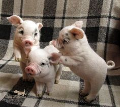 Such cute piglets Cute Baby Pigs, Cute Piglets, Cute Babies, Baby Piglets, Baby Animals Pictures, Cute Animal Pictures, Cute Little Animals, Cute Funny Animals, Felt Animals