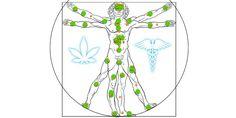 Endocannabinoid System Explained: What is ECS and What Is Its Role? Endocannabinoid System, Medical Marijuana, Cannabis, Image Search, Benefit, Diagram, Healthy Living, Oil, Hemp
