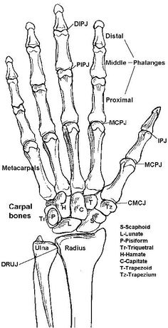 Learning the Bones of the forearm, wrist and hand.–Anatomy Practical Preparatio Learning the Bones of the forearm wrist and hand. Hand Anatomy, Anatomy Bones, Body Anatomy, Anatomy Drawing, Anatomy Art, Wrist Anatomy, Forearm Anatomy, Bone Drawing, Skull Anatomy