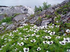 ✿ Cornaceae ✿ Norway. Schwedischer Hartriegel, Cornus suecica L.