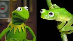 Kermit vs Hyalinobatrachium dianae (no need to say anymore XD)