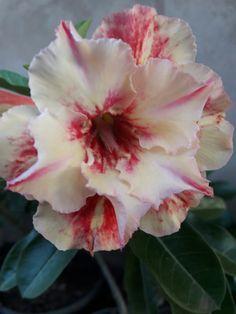 Smurf House, Amarillis, Cactus, Desert Rose, Outdoor Gardens, Orchids, Gardening, Flowers, Plants