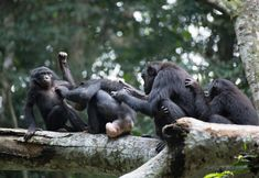 In the Bonobo World, Female Camaraderie Prevails - NYTimes.com