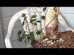 Bonsai: Trident Thread Grafting