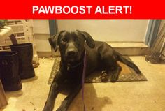 Is this your lost pet? Found in Lawrenceville, GA 30044. Please spread the word so we can find the owner!  Description: Friendly, NOT neutered, shiny midnight black coat, puppy with huge paws, blue green & white stripped collar no tags.  Nearest Address: Near Harrison Ridge Ct, Lawrenceville, GA, United States