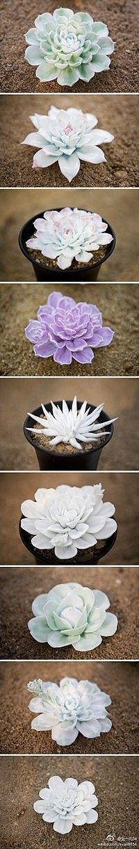 多肉植物 嘀咕图片