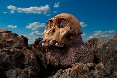 Climate Swings Drove Patchwork-Like Human Evolution, Study Says. A skull of Australopithecus sediba, one of Africa's prehuman species, rests on a rock outcrop.