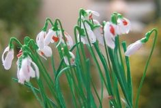 how to: Snowdrops