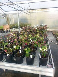 Dag 59/365: Bestaande Helleborusplanten poten