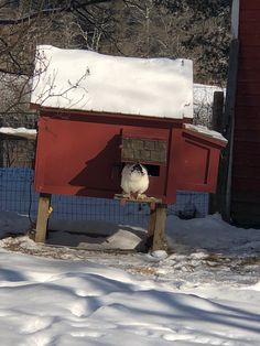 White Hen Ventures Out