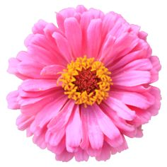 Pink zinnia flower isolated colorful garden plant without background texture