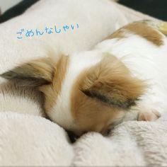 ごめん寝くーたん♡ | くーた(チワワ) | パシャっとmyペット