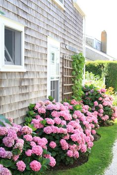 rows and rows of hydrangeas.