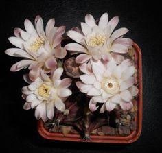 ¿Fertilizar cactus? 12 Consejos de fertilización de cactus > Plantas - Flores - Cactus