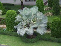 Copernicia hospita (The Cuban Wax Palm) by Sayayog