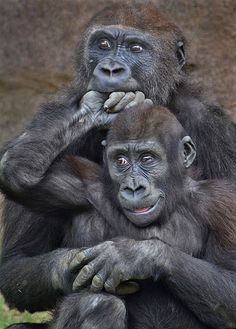 Bite the hand that doesn't feed - Young gorillas Monroe & Frank play-wrestle at the Safari Park