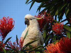 55 cm. de altura y un peso entre 815 y 975 gramos. La Cacatúa Galerita (Cacatua galerita) es un ave grande con un plumaje predominantemente blanco.