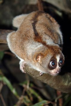 The slow loris is the world's only venemous primate. When threatened, it licks it its brachial glands (near its elbows), which produces venom, to deliver a painful bite. Zoo Animals, Animals And Pets, Funny Animals, Cute Animals, Unusual Animals, Wild Animals, Slow Loris, Primates, Mammals