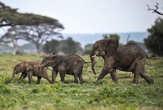 Young elephants at the Amboseli game reserve, Kenya. The year 2012 was the annus horriblis (year of horrors) for elephants, according to the International Fund for Animal Welfare. Around 34 tonnes of poached ivory was seized - the biggest ever total of confiscated ivory in a single year, a rise of almost 40% on last year's record of 24.3 tonnes. Most illegal ivory is destined for Asia, in particular China, where it has soared in value as an investment vehicle and coveted as white gold…