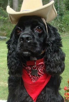 cowpup; cocker spaniel cowboy! #obgcockerrescue #cockerspaniel #dogcostume