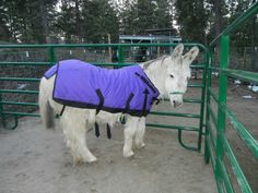 Magic Sam squeezed into a winter coat that was donated to us by Diana Hunter last year. It's actually Jessie's coat but Sam needs it more. Thank you, Diana! Courtesy: Lavender Dreams Farm & Donkey Rescue, Spokane, Washington (USA).