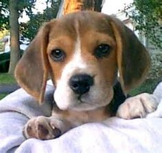 beagle puppies - Bing Images