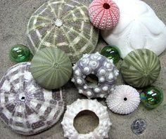 sea urchins, shells, seashells, sea shells,