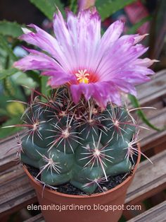 Cactus Flower, Euphorbia, Plants, Unusual Flowers, Amazing Flowers, Purple Plants, Cacti And Succulents, Flowers, Planting Succulents