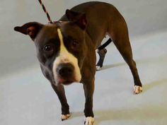 A1068075_BELLA..FEMALE, BLACK / WHITE, STAFFORDSHIRE MIX, 4 yrs STRAY – STRAY WAIT, HOLD FOR DOH-B Reason STRAY Intake condition EXAM REQ Intake Date 03/20/2016, From NY 10466, DueOut Date 03/30/2016,