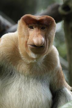 The rare proboscis monkey, native to the Island of Borneo, has the biggest nose of all primates.