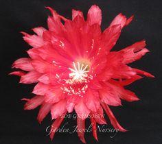 epiphyllum bob grimshaw - Google Search