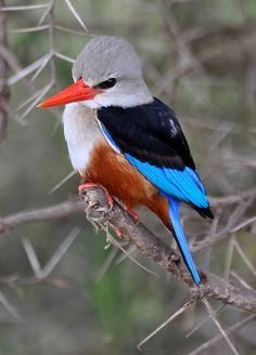 White-headed Kingfisher, Tanzania by Kathy Gerber