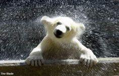 Baby polar bear at the Toledo Zoo!