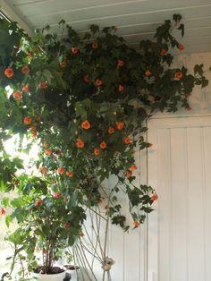Абутилон (комнатный клен)  Абутилон называют в России комнатным кленом. Комнатный – потому что выращивают исключительно в домашних условиях. Клен – из-за красивых резных листьев. Но на самом деле это растение не имеет никакого отношения к клену. К тому же абутилон и не совсем комнатное растение, летом ему гораздо лучше не в доме, а в саду.