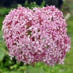 Hydrangéa Arborescent Invincibelle  Annabelle rose