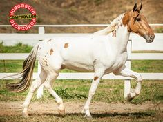 Buckskin or Dun Tobiano All The Pretty Horses, Beautiful Horses, Horse Saddles, Western Saddles, Campolina, Horse Markings, Pinto Horses, American Saddlebred, Appaloosa Horses