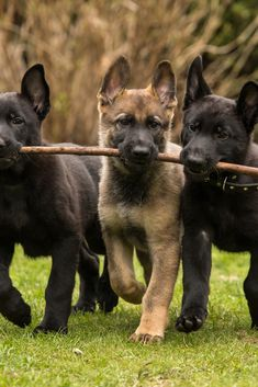 Three working line german shepherd puppies brings one stick Du travail d'équipe. Cute Puppies, Dogs And Puppies, Bulldog Breeds, Pet Dogs, Pets, Schaefer, German Shepherd Puppies, Baby German Shepherds, Beautiful Dogs