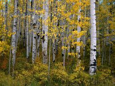 """Aspen Trees Near McClure Pass in Gunnison National Forest, Gunnison, Colorado"" by Greg Gawlowski"